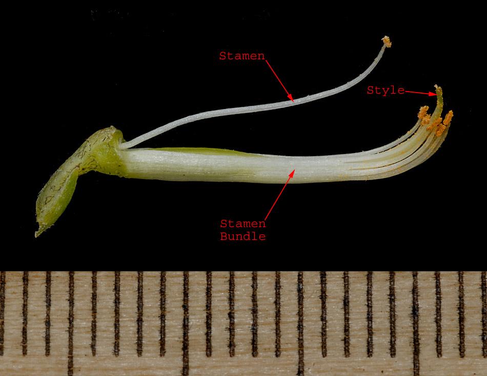 Astragalus Gilviflorus