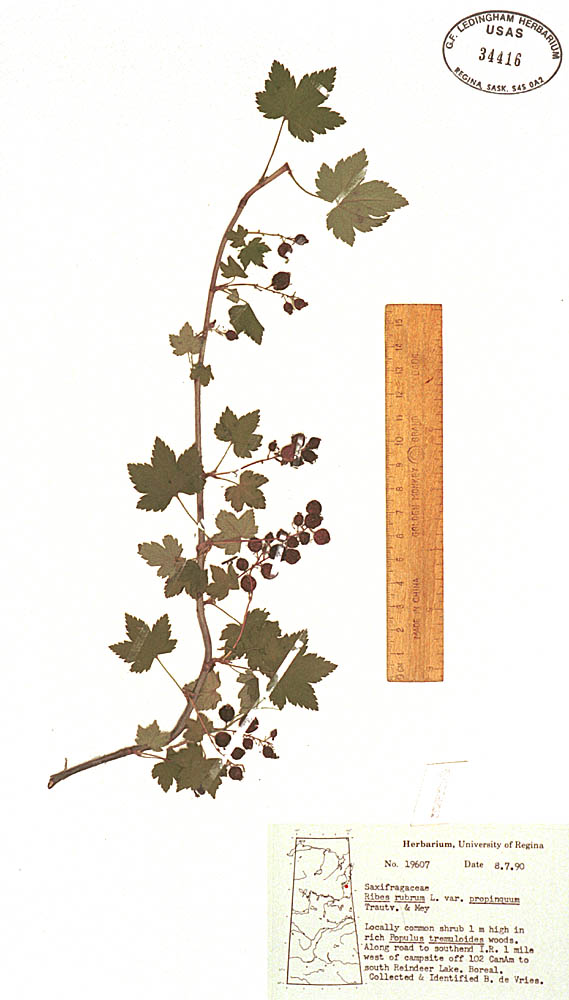 Ribes Triste